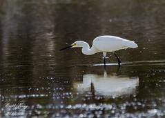 snowy egret (dbking2162) Tags: snowy egrets nationalgeographic nature wildlife water wading heron hunting fortmyersbeach florida animal birds b
