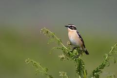 Tarier des prés (Fabien Serres) Tags: muscicapidés oiseau passériformes saxicolarubetra tarierdesprés whinchat bird