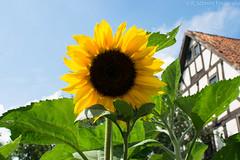 Sonnenblume (ramonaschmitt) Tags: sunflower sonnenblume himmel blau nikon d3300 35mm outdoor natur