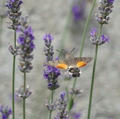 On approach... (Jump83) Tags: moro sphinx butterfly lavande