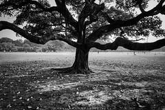   The Tree   (SouvikMetiaPhotography) Tags: tree blackandwhite outdoor monochrome fineart field kolkata nikon flickr branch contrast travel morning minimalism asia horizon landscape nature