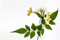 Honeysuckle In Macro (Peter Greenway) Tags: petergreenway macroflowers wpg yellowflower macro flickr honeysuckle