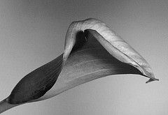arum (JJ_REY) Tags: arum fleurs flower nikon d700 micronikkor 55mmf28ais alsace france