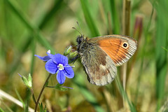 Small Heath butterfly on Speedwell