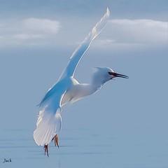 The Glide (beachpeepsrus) Tags: egret bird water westcoast white sky c