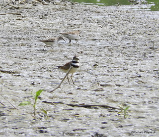 Semipalmated Plover and Semipalmated Sandpiper_N8962