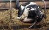 pawu038 (Otwarte Klatki) Tags: krowa krowy mleko zwierzęta cielak ferma andrzej skowron