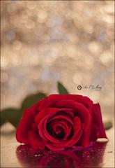 Proyecto 141/365 (Art.Mary) Tags: rosa rose flor fleur flower rojo rouge red canon pasión bodegón stilllife naturemorte bokeh proyecto365