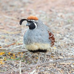 Gambel's Quail (Ed Sivon) Tags: quail american arizona canon nature lasvegas wildlife wild western southwest sun clarkcounty clark vegas bird henderson nevada nevadadesert preserve