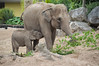 Asian Elephant (Elephas maximus) (Seventh Heaven Photography) Tags: asian elephants animals hi way baby nikond3200 calf wildlife chester zoo cheshire england elephant female mammal indali sundara animal elephas maximus elephasmaximus asiatic elephantidae