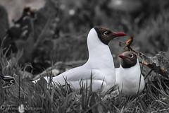 gaviota de sabine, seagull (barragan1941) Tags: aves avesmarinas escocia gaviotadesabine islasfarne