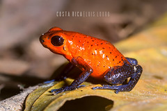 Strawberry Poison Frog (Luís Louro) Tags: frogs poison poisondartfrogs animals anuran travel tropical colors costarica amphibian red blue bluejeans amphibians wildlife wildlifephotography macro louro latinamerica centralamerica