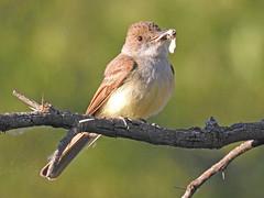 Dusky-capped Flycatcher (David Bygott) Tags: usa arizona ruby bird