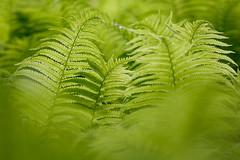 Farn (Petra Runge) Tags: makro grün natur nahaufnahme schärfentiefe flora green nature macro ferns farn blatt