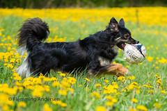Joey (Flemming Andersen) Tags: spring bordercolli pet nature flower dog dandelions outdoor joey yellow animal mælkebøtter jelling regionsyddanmark denmark dk