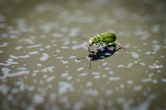 Grüner Zypressenrüssler (G_Albrecht) Tags: curculionidae insect pachyrhinuslethierryi grünerzypressenrüssler insekt kaefer rüsselkäfer tier umwelt