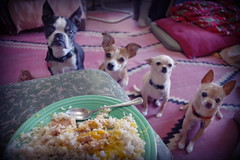 starring at me while i eat my breakfast (EllenJo) Tags: pentaxk1 pentax bostonterrier ivan floyd simon chihuahua chihuahuas chiweenie hazel may23 2017 ellenjoroberts ellenjo dinnertime dogs pets begging breakfast dog feedme