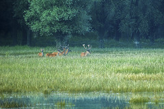 Resting red deer (Cervus elaphus) stags (adambotond) Tags: gemenc stag stags reddeer deer cervuselaphus cervidae nature naturephotography wildlife wild wildlifephotography wilderness hungary magyarország outdoor ddnp dusk morning water danube buck canon canoneos1dx canonef400f56lusm resting