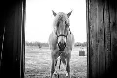 Savvy (JustJamieLeigh) Tags: horse horses haflinger haflingers equines equine blackandwhite monochrome fuji fujix100t barn ponies pony