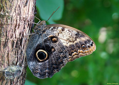 Caligo Memnon (Darea62) Tags: caligomemnon owl butterfly insect nature animal wings tree wildlife paleowl giantowl bark tropical
