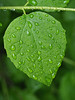 Rain drops on leaf (Ciddi Biri) Tags: afterrain greenleaf leaf nature plant rain raindrops spring water awakeningofnature omdem10 olympus60mmf28 damla yağmur yaprak bahar yeşil doğa ilkbahar m43turkiye