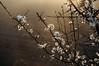 Schlehdorn (Prunus spinosa); Bergenhusen, Stapelholm (32)