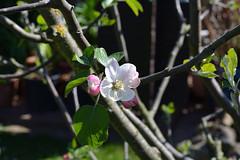 Apfelblüte (陈霆, Ting Chen, Wing) Tags: apfel malusdomestica blume 苹果 appel