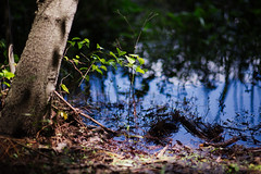 walk about Harris Lake 36 (furrycelt) Tags: harrislake newhillnc nikon85mmf14afd nikon85mmf14 northcarolina shearonharrisreservoir ianwilson jianwilson photographersoftumblr 85mm d600 nikon forest furrycelt lake lensblr natural nature trees water woods