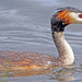 Great Crested Grebe 1
