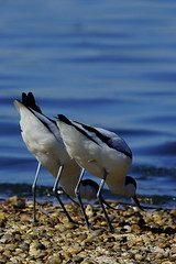 _DSC4907 - Avocet (steve R J) Tags: avocet blue house farm north fambridge essex wader birds british