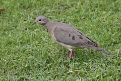EARDOV 0002 (bryanjsmith62) Tags: eareddove zenaidaauriculata pigeonsanddoves columbidae