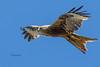 nibbio reale (Tonpiga) Tags: tonpiga uccelliinlibertà faunaselvatica rapace predatore nibbioreale milvusmilvus uccello