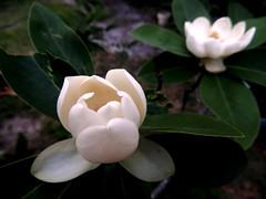 Sweet-bay magnolia (Just Back) Tags: magnolia magnoliaceae tepals petals sepals flower perianth foliage leaves stems plant tree garden evening smell sweet southern botanical sc carolina botany frangrance fragrant