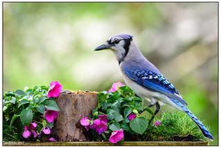 Blue Jay DSC_0581