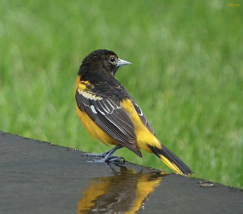 """Baltimore Oriole • <a style=""""font-size:0.8em;"""" href=""""http://www.flickr.com/photos/52364684@N03/34291555963/"""" target=""""_blank"""">View on Flickr</a>"""