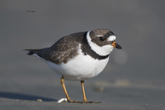 Semipalmated Plover (featherweight2009) Tags: semipalmatedplover charadriussemipalmatus plovers shorebirds birds