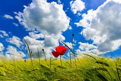 Mohn im Kornfeld (hermelin52) Tags: deutschland germany nrw ruhrgebiet essen stadtessen überruhr essenüberruhr sommer kornfeld himmel mohn blüte wildpflanze pflanze flora landschaft natur getreidefeld