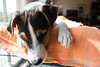 Puppy Face (marylea) Tags: apr22 2017 spring dooley parsonrussellterrier parsonrussell dog puppy prt jrt jackrussellterrier jackrussell terrier 15weeksold