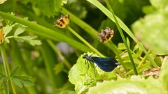 Blue on green (Englepip) Tags: calopteryxvirgo damselfly blue greenfoliage insect nearwater bournemouth outdoor macro