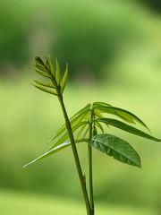 Pterocarya fraxinifolia (tammoreichgelt) Tags: leaves young foliage leaf juglandaceae wingnut caucasian holland utrecht walnut