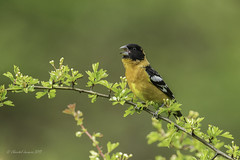 Not another American Robin- Black-Headed Grosbeak (Chantal Jacques Photography) Tags: blackheadedgrosbeak wildandfree bokeh depthoffield e