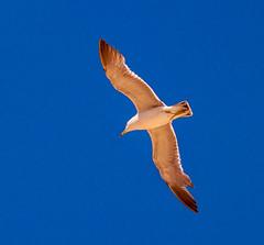 Bird (Baburam Bhattarai) Tags: beach flight flying blue white brown seagull canon efs 55 250 500d eos
