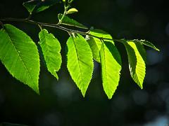 El lustre de lo nuevo (Luicabe) Tags: airelibre árbol brote cabello contraluz enazamorado exterior hoja luicabe luis luz naturaleza planta roma sol yarat1 zamora zoom