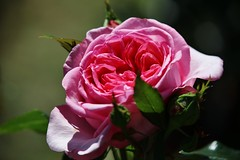 on a sunny Day (Hugo von Schreck) Tags: hugovonschreck rose blume flower macro makro blüte tamron28300mmf3563divcpzda010 canoneos5dsr