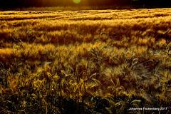 Brotaufzucht (grafenhans) Tags: sony alpha 68 a68 ilce feld korn kornfeld gegenlicht abendsonne farben sonne sonnenuntergang getreide acker tamron 281750 polfilter