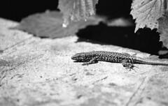 Lizard (tolerdus) Tags: kodak trx 400 100400mm canon eos5