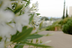White oleander and cypress trees (balu51) Tags: ferien griechenland peloponnes garten oleander weiss zypressen grün morgen morgenspaziergang garden flower plant white green morning morningwalk greece mai 2017 copyrightbybalu51