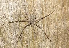 intelligent Hersiliidae (Allan Lance) Tags: hersiliidae tamopsis twintailspider bordertown southaustralia ajl