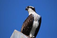 Osprey portrait (avilacats) Tags: