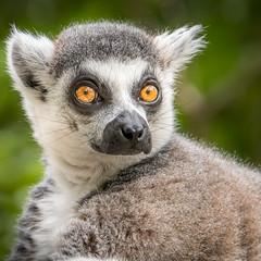 Wide Eyes [in Explore 5/20/17] (helenehoffman) Tags: wildlife prosimian primate sandiegozoosafaripark mammal lemurcatta ringtailedlemurs animal madagascar nature conservationstatusendangered